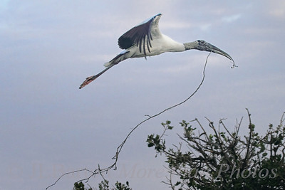 Wood Stork bringing nest material