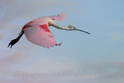 Roseate 2012-03-26  Another picture from the Bradenton Rookerie.  A Roseate Spoonbill.  Many thanks for yesterday's comments.  As I went to sleep, it was #4 for the day.