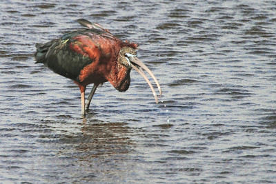 "Gulp 2012-03-21  I'm not sure what kind of bird this is - the curved bill makes me guess ""Ibis"", but the colors are not right for an Ibis.  At any rate, it swallowed the fish even before its bill left the water.  It seems to have a satisfied look on its face. Update:  It is a glossy ibis.  Thanks Lori and your friend Jason Many thanks for the comments on my dragonfly/alligator combination."