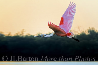 Roseate Spoonbill at dawn