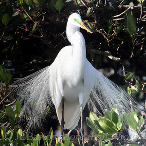 Egret displaying breeding plumage