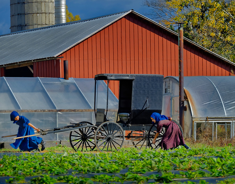 Ethridge TN, <br /> <br /> Amish girls get the buggy ready for a trip into town.