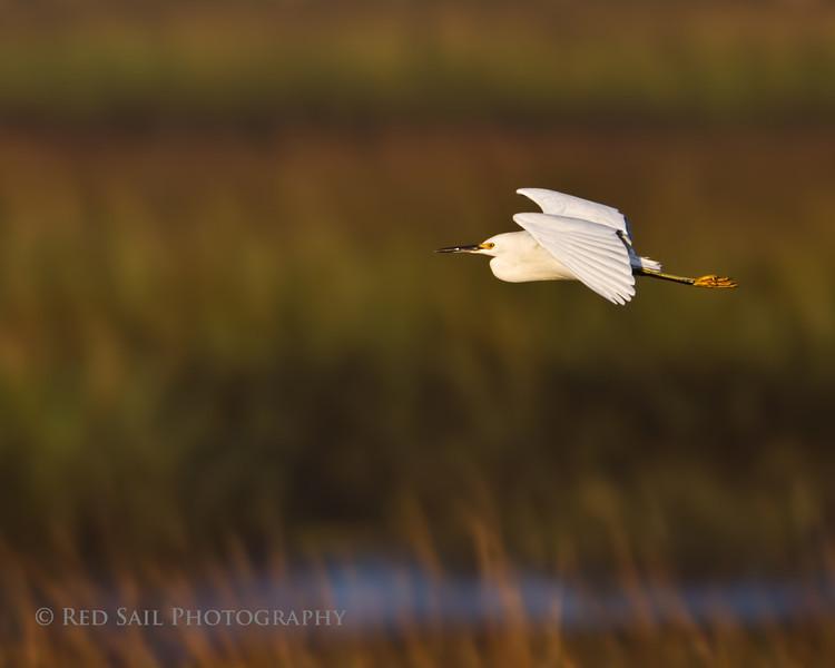 Snowy Egret, Tideview Preserve.
