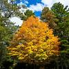 Carolina Golden Tree