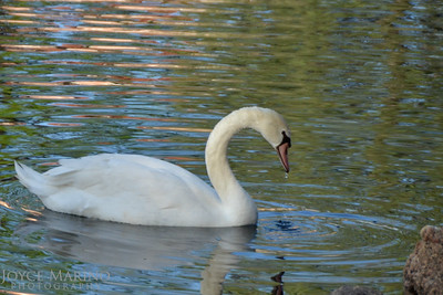 Beautiful swan at The Broadmoor Resort in Colorado Springs, CO - #2300