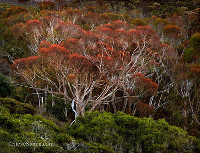 Red Eucalyptus Tree Irish Hills, Central California Coast  Psuedo fall color in Caliornia's 5th season (wildfire season). Certain non native eucalyptus trees are deciduous in their dry seasons.