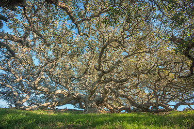 Coastal Live Oak - Central California Coast