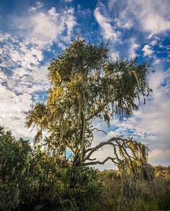 Moss Covered Oaks - Central California Coast