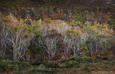 Colorful eucolyptus trees in the Irish Hills along the Central California Coast