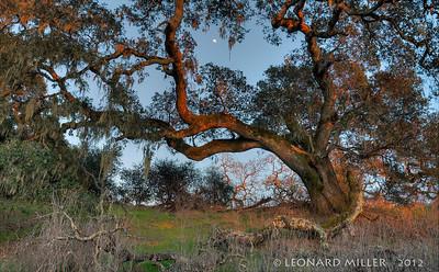 Live Oak - Crane Creek Regional Park, Sonoma County