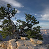Pinyon Pine - Bright Angel Trail - North Rim Grand Canyon - Arizona
