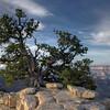 Pinyon Pine - Bright Angel Trail - North Rim Grand Canyon - Arizona