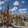 Bristlecone Ghost - Patriarch Grove - White Mountains, California