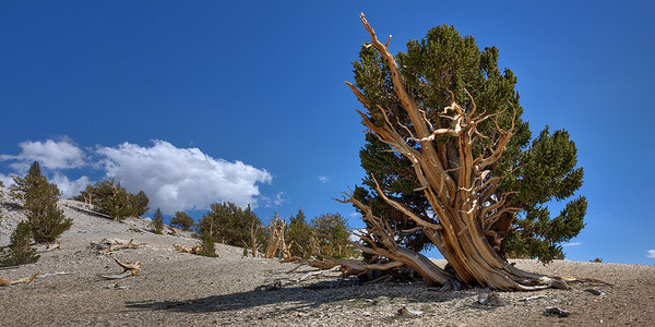 Bristlecone Pine at Treeline - White Mountains - California