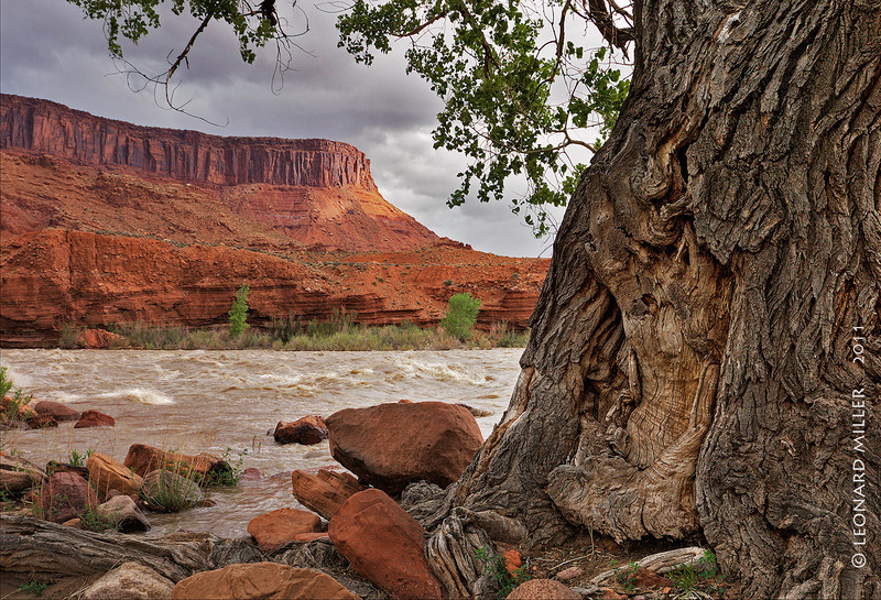 Old Fremont Cottonwood - Colorado River, Utah - 2011
