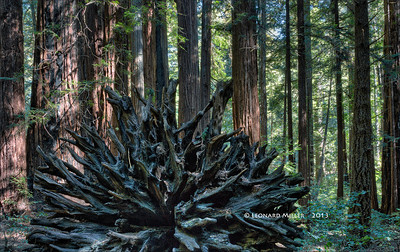 Fallen Redwood - Armstrong Redwoods SP - Sonoma County - 2013