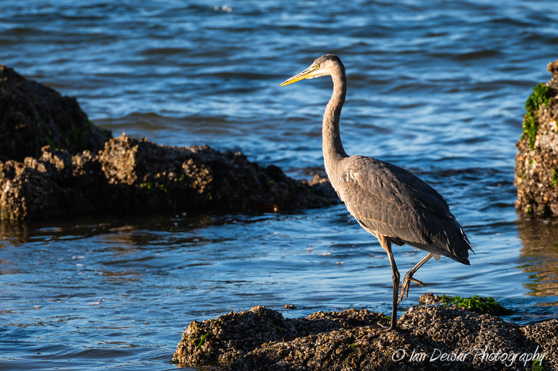 Great Blue Heron at the Tidepool