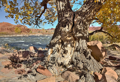 Old Fremont Cottonwood - Colorado River - Utah
