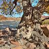 Old Fremont Cottonwood - Colorado River - Utah