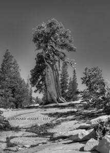 Old Western Juniper - Yosemite -2011