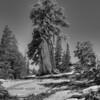 Old Western Juniper - Yosemite -2011