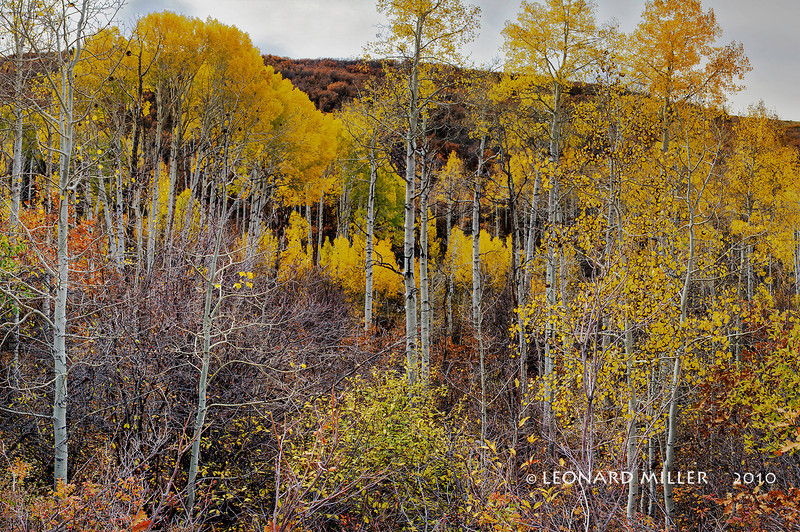 Aspen Woodland - Manti La Sal Mountains - Utah
