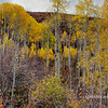 Aspen Woodland - Manti La Sal Mountains - Utah