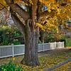 MacDonand Street Gingko Trees - Santa Rosa, California