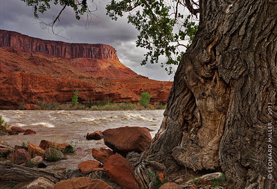 Old Fremont Cottonwood - Colorado River - Utah - 2011