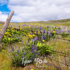 134  G Balsamroot and Lupine Fence