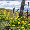 96  G Balsamroot and Lupine Fence V