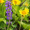 102  G Balsamroot and Lupine Close V