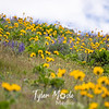 76  G Balsamroot and Lupine