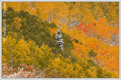 A lone frosted evergreen stands among vivid fall foliage near Steamboat Springs, Colorado