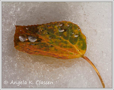 Aspen leaf with water droplets, near Steamboat Springs, Colorado