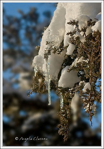 Icicles on cedar tree, Topeka, Kansas