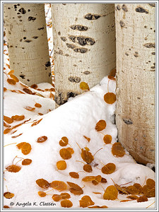 Aspen leaves in snow, Buffalo Pass Rd., near Steamboat Springs, Colorado