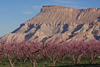 Mt. Garfield and blooming peach orchard, Palisade, Colorado