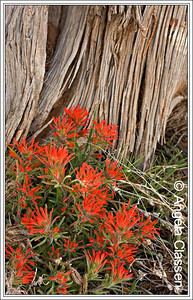 Indian paintbrush, Colorado National Monument, Grand Junction, Colorado