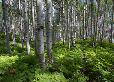 Summer ferns, Kebler Pass, Colorado