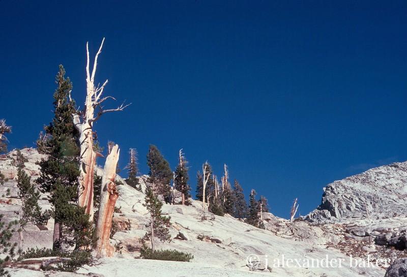 Pines, Kings Canyon NP, CA
