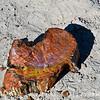Petrified wood - agatized into Jasper and Agate