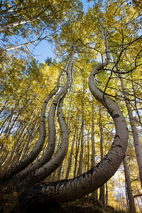 Twisted Aspens near Telluride