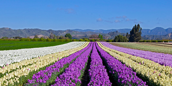Santa Paula Flower Fields