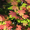 Vine maple leaves.