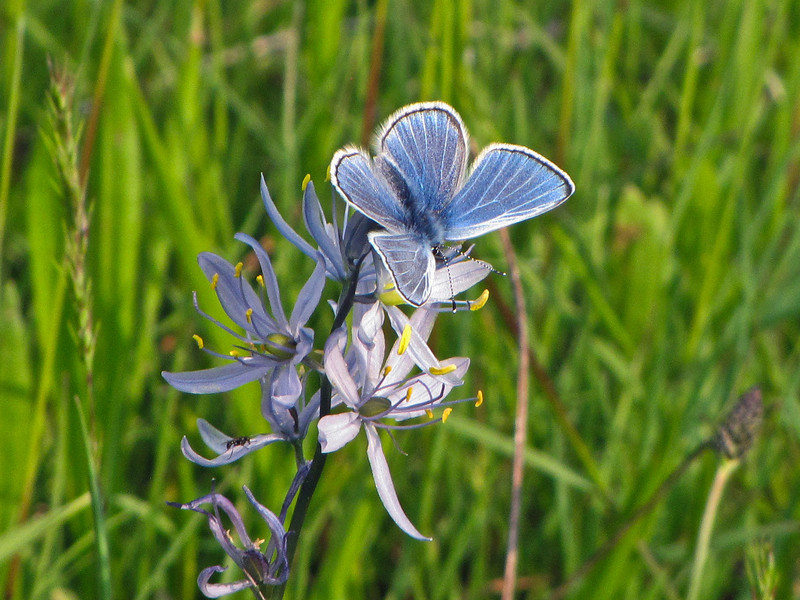 Butterfly on Camas
