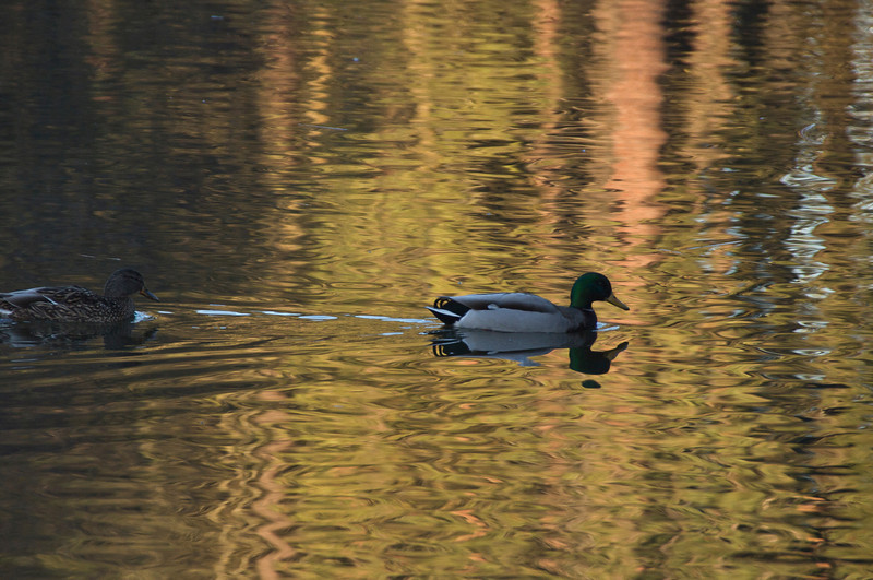 Mallard Ducks, Cannon Hill Park Pond