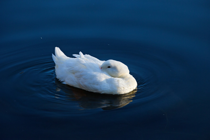 Duck in Pond, Attempting to Sleep