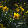 Arrow Leaf Balsamroot