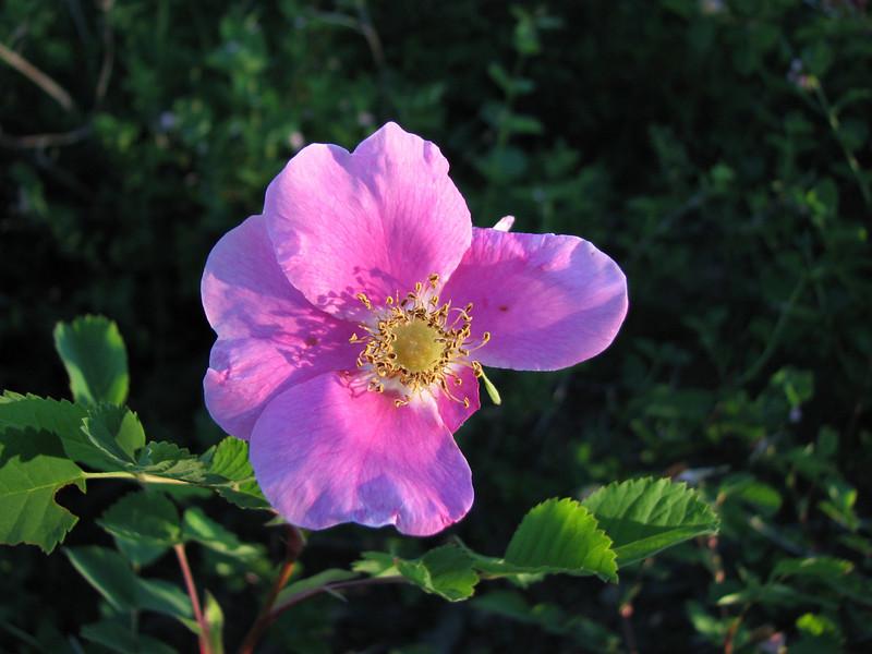 Wild Rose at Sunrise